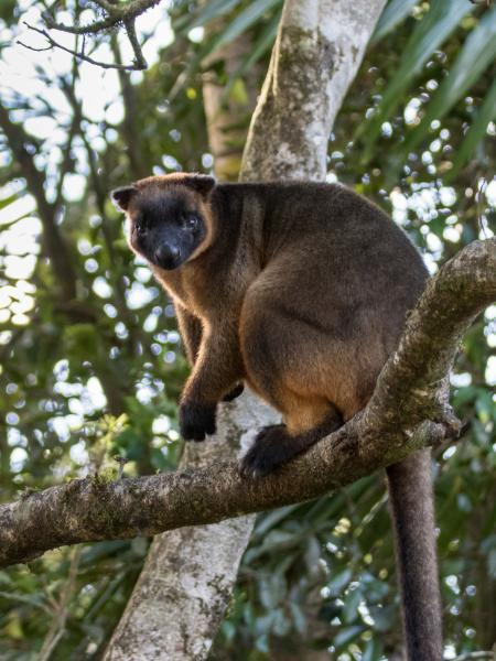 Lumholtz's Tree Kangaroo by Alfred Schulte