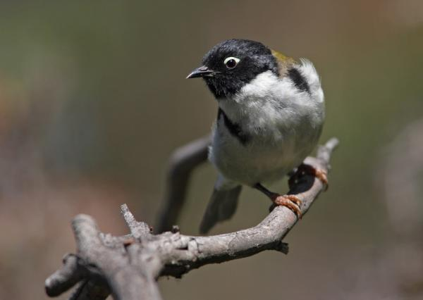 Black-headed Honeyeater by Chris Tzaros