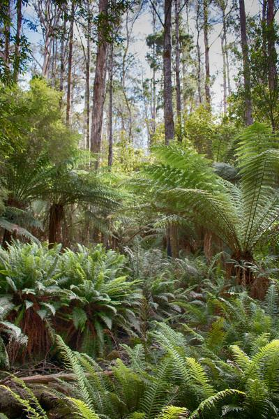 Antarctic Tree Ferns Bruny Island - Brad Moriarty - Inala Nature Tours