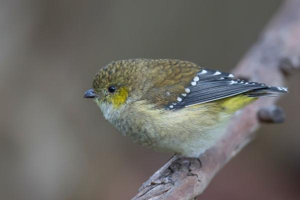 Forty-spotted Pardalote (Photo: Andrew Browne).