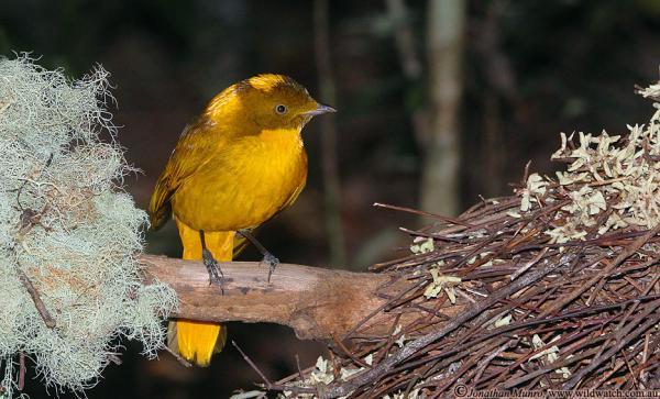 Golden Bowerbird - Photograph Jonathan Munro - Inala Nature Tours
