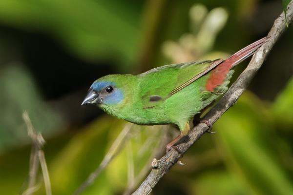Blue-faced Parrot-finch - Photograph by Alfred Schulte - Inala Nature Tours