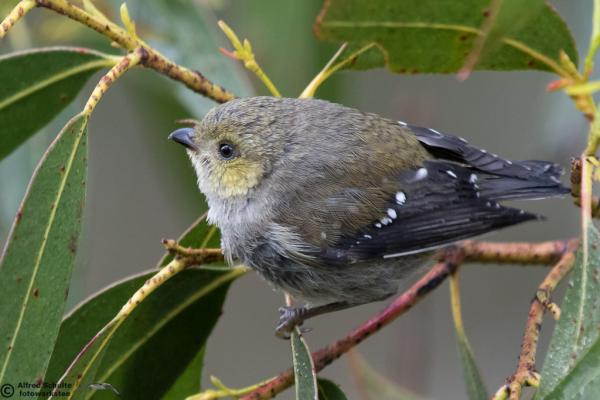 Forty-spotted Pardalote - Alfred Schulte - Inala Nature Tours