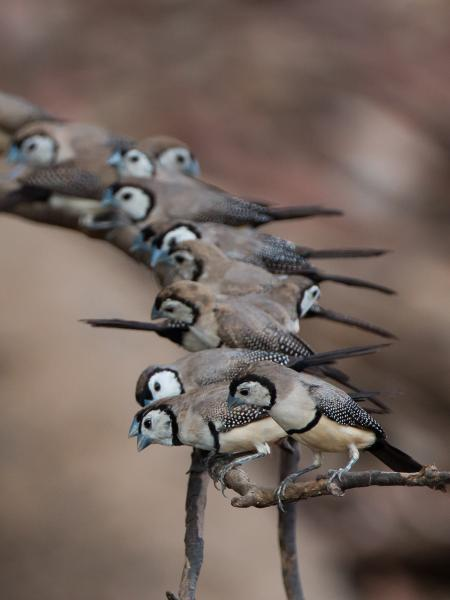 Double Barred Finch - Alfred Schulte - Inala Nature Tours