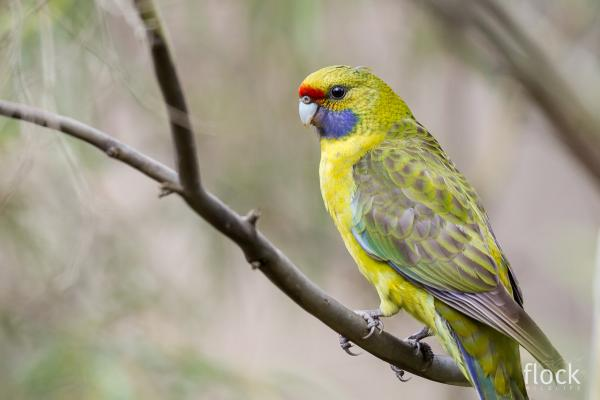 David Stowe Photography taken at Inala - Green Rosella