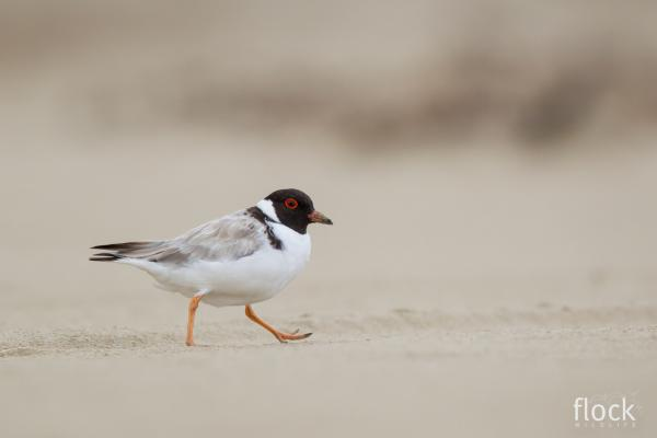 David Stowe Photography taken at Inala - Hooded Plover