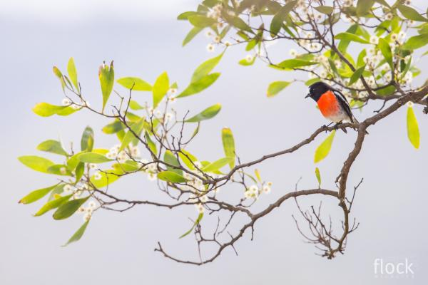 David Stowe Photography taken at Inala - Scarlet Robin