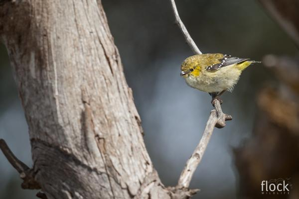 Forty Spotted Pardalote - David Stowe - Inala Nature Tours