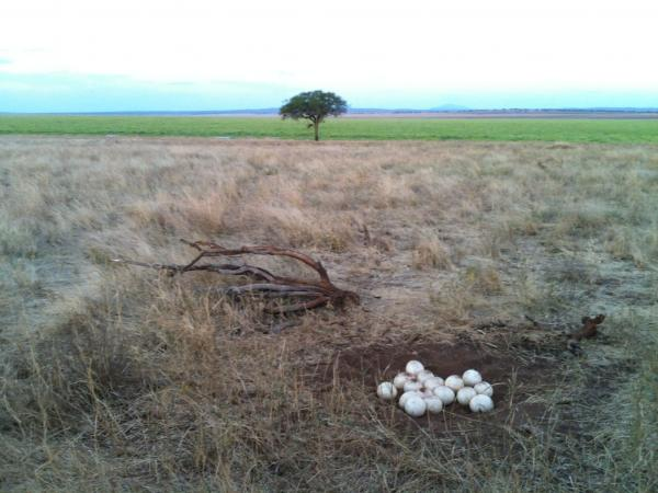 Ostrich Nest - Clint Schipper - Inala Nature Tours