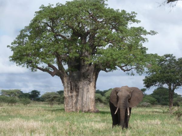 Elephant and Baobab - Clint Schipper - Inala Nature Tours