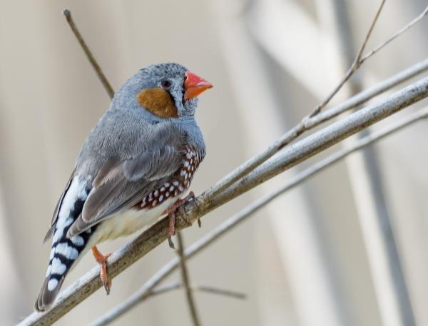 Zebra Finch - Inala Nature Tours - Photographer Dennis Braddy