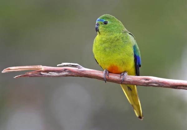 Orange Bellied Parrot - Inala Nature Tours - Photographer Chris Tzaros