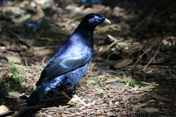 Satin Bowerbird -  Inala Nature Tours - Photographer Cat Davidson