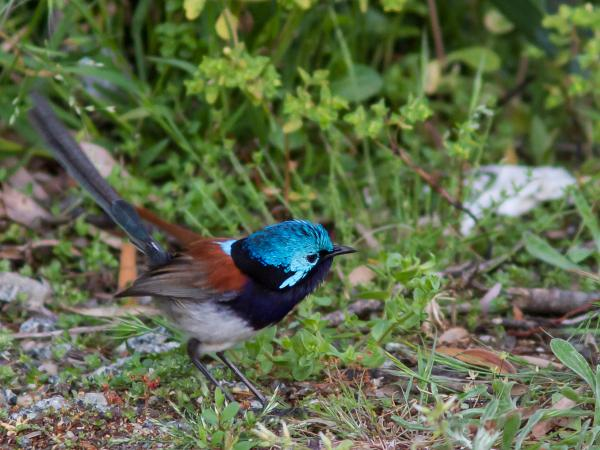 Variegated Fairy Wren - Inala Nature Tours - Photographer Alfred Schulte