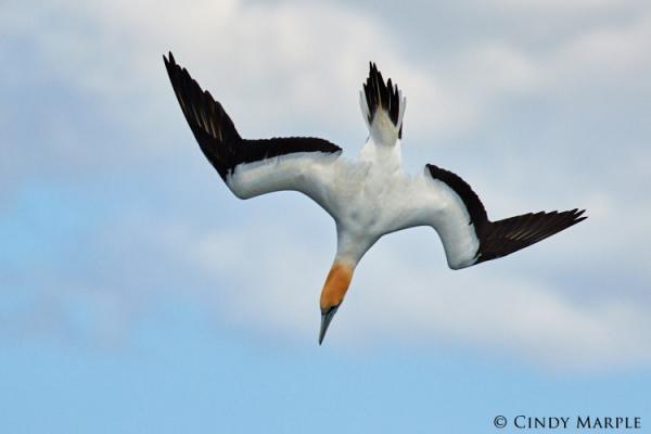 Australian Gannet - Cindy Marple - Inala Nature Tours