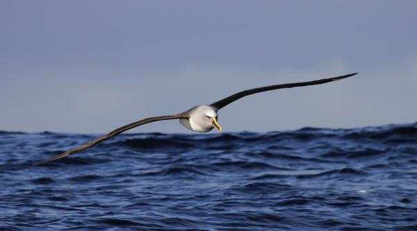 Buller's Albatross - Paul Brooks - Inala Nature Tours