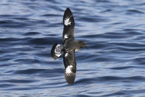 Cape Petrel - Paul Brooks - Inala Nature Tours