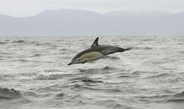 Common Dolphin- Paul Brooks - Inala Nature Tours