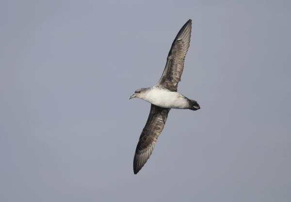 Grey Petrel - Paul Brooks - Inala Nature Tours
