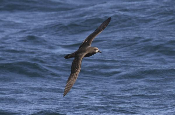 Grey-faced Petrel - Paul Brooks - Inala Nature Tours