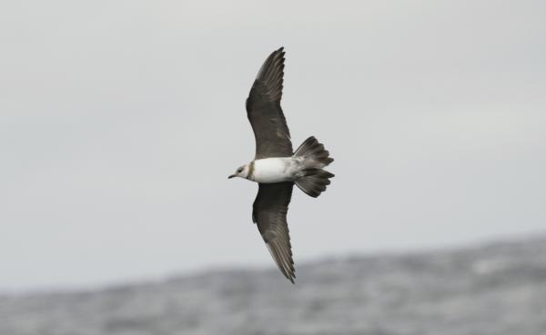 Long-tailed Jaeger - Paul Brooks - Inala Nature Tours