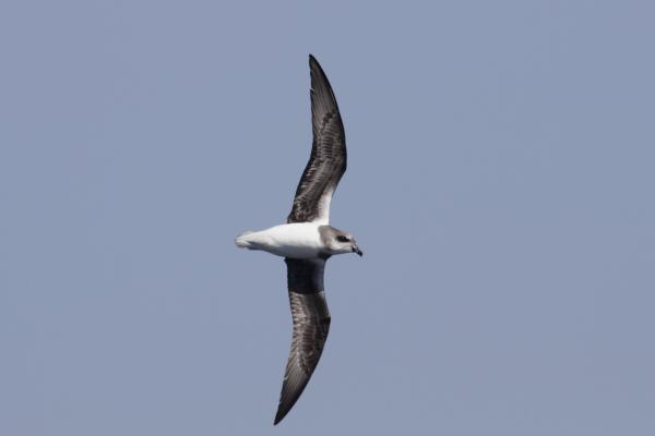 Soft-plumaged Petrel - Paul Brooks - Inala Nature Tours