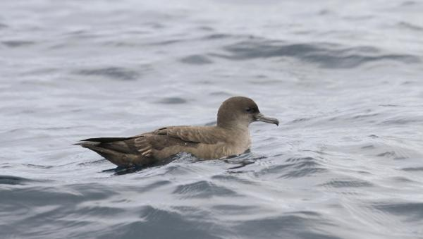 Sooty Shearwater - Paul Brooks - Inala Nature Tours