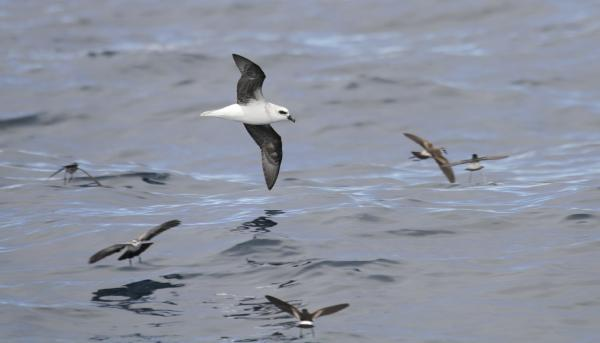 White-headed Petrel - Paul Brooks - Inala Nature Tours