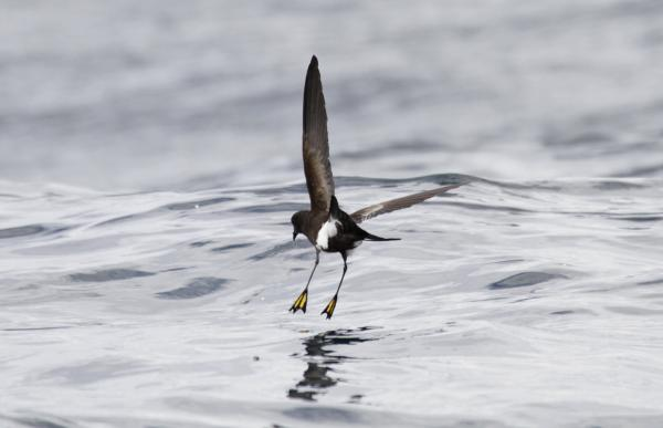 Wilson's Storm Petrel - Paul Brooks - Inala Nature Tours