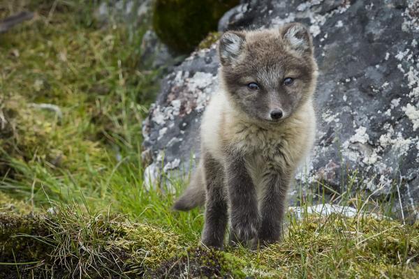 Arctic Fox - Scott Davis