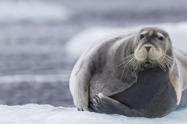Bearded Seal - Scott Davis