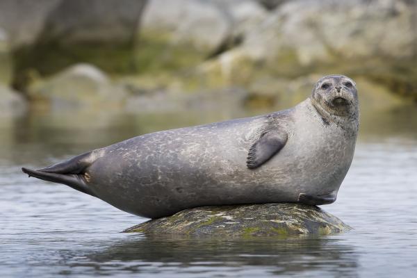 Harbour Seal - Scott Davis