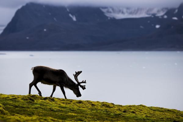 Reindeer - Scott Davis