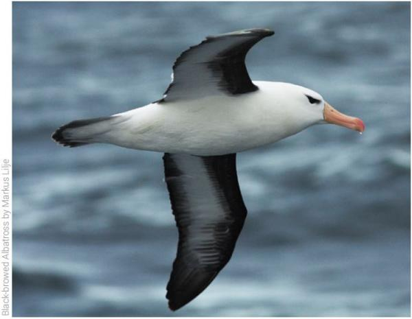 Black Browed Albatross - Markus Lilje