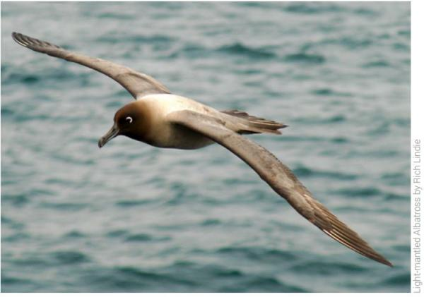 Light-mantled Albatross - Rich Lindie