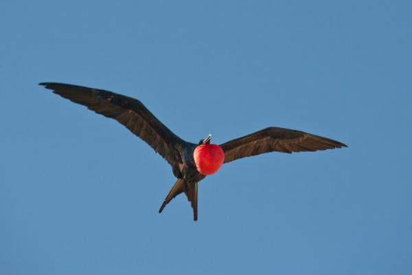 Great Frigate Bird - Palau