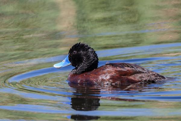 Blue-Billed Duck - Photo By Alfred Schulte - Inala Nature Tours