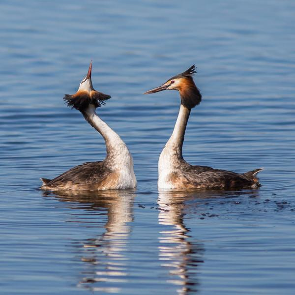 Great Crested Grebe- Photo By Alfred Schulte - Inala Nature Tours