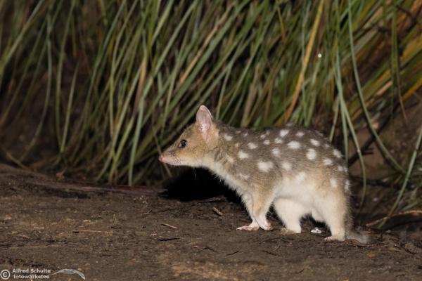 Eastern Quoll - Photograph by Alfred Schulte - Inala Nature Tours