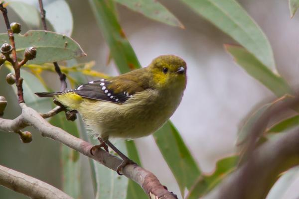 Forty Spotted Pardalote - Photograph by Alfred Schulte - Inala Nature Tours