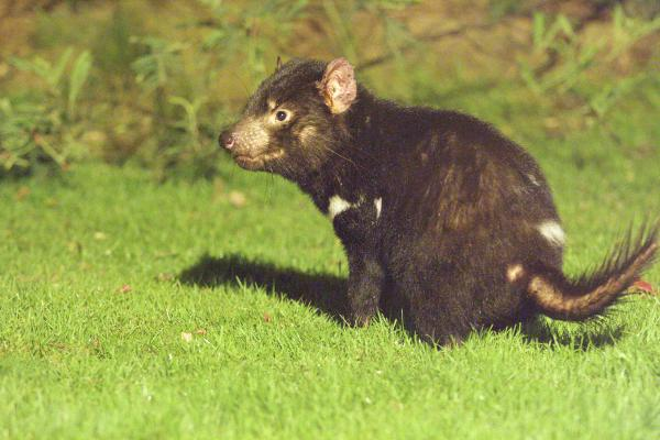 Tasmanian Devil - Photograph by Steven Zarate - Inala Nature Tours