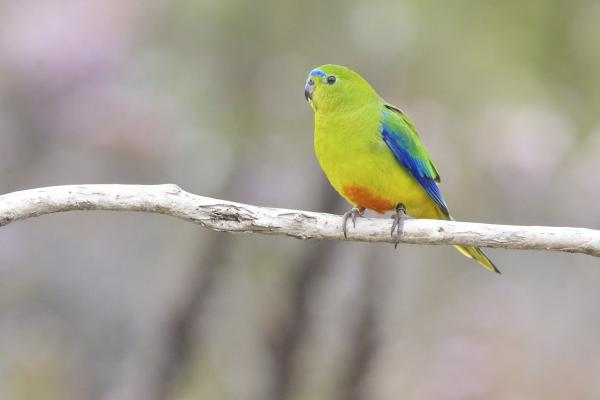 Orange Bellied Parrot - Photograph by Steven Zarate - Inala Nature Tours