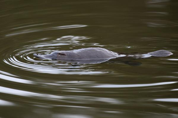 Platypus - Photograph by Bob Lewis - Inala Nature Tours