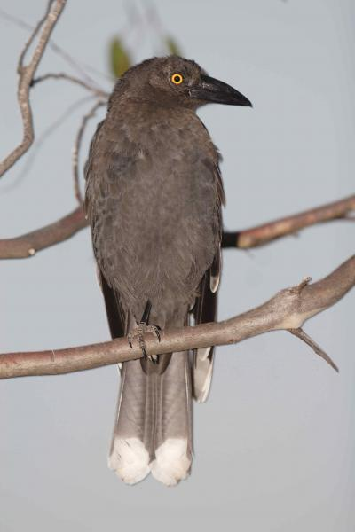 Black Currawong - Photograph by Jan Suter - Inala Nature Tours