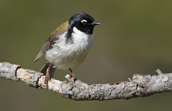 Black Headed Honey Eater - Photograph by Chris Tzaros - Inala Nature Tours