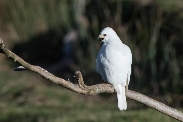 Grey Goshawk - Photograph by Alfred Schulte - Inala Nature Tours