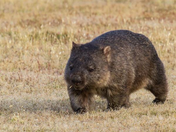 Wombat by Alfred Schulte - Inala Nature Tours