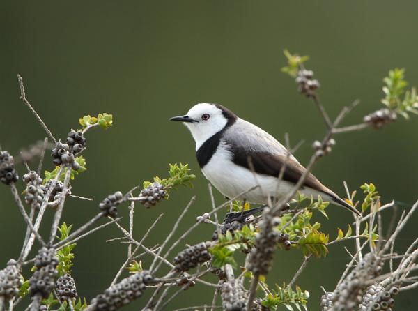 White-fronted Chat by Veldt Veen - Inala Nature Tours