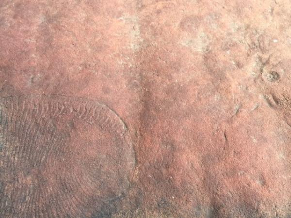 Dickinsonia ediacaran  - Tonia Cochran - Inala Nature Tours