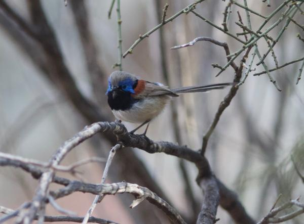 Purple-backed Fairy Wren - Alastair Stevenson - Inala Nature Tours